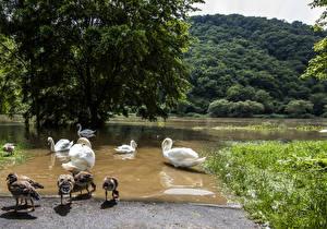 Фотографии Германия Речка Птицы Лебеди Деревья Mosel Природа Животные