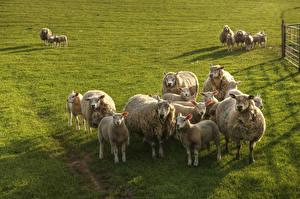 Обои Луга Овцы Детеныши Много Стадо Животные