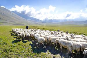 Фото Луга Овцы Стадо Животные