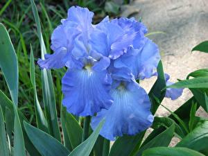 Фото Ирисы Вблизи Голубой Цветы