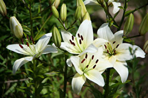 Фото Лилии Вблизи Белый Бутон Цветы