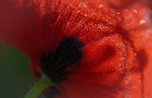Картинки Макро Крупным планом Маки Капель Цветы