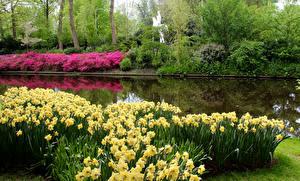 Фото Нидерланды Парки Весна Нарциссы Пруд Keukenhof