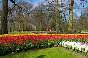 Фотография Нидерланды Парки Весенние Тюльпаны Гиацинты Деревья Keukenhof Природа