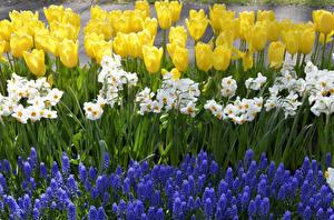 Фотографии Нидерланды Парки Тюльпаны Нарциссы Гиацинты Keukenhof