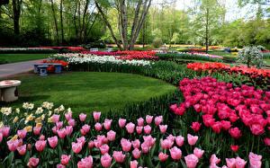 Фотография Нидерланды Парки Тюльпаны Нарциссы Keukenhof Природа