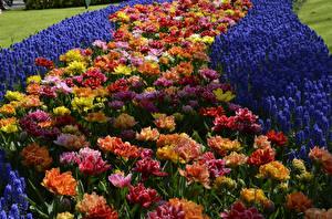 Фотография Нидерланды Парки Тюльпаны Гиацинты Keukenhof