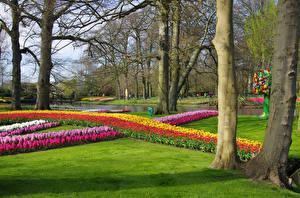 Картинки Нидерланды Парки Тюльпаны Гиацинты Газон Ствол дерева Keukenhof Природа