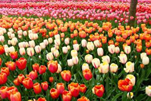 Обои Нидерланды Парки Тюльпаны Много Keukenhof Цветы картинки