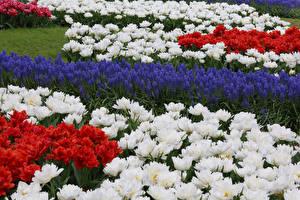 Обои Парки Тюльпаны Много Гиацинты Цветы