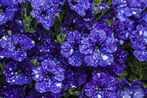 Картинки Петунья Вблизи Фиолетовый Цветы
