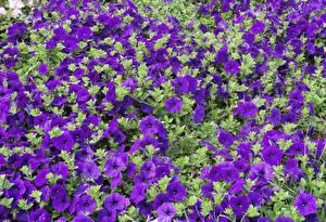 Фотография Петунья Много Фиолетовая Цветы