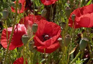 Картинки Маки Вблизи Бутон Цветы