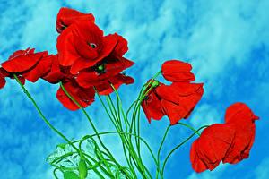 Фотографии Маки Крупным планом Красных Цветы
