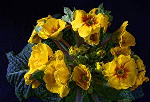 Картинки Примула Вблизи Черный фон Желтый Цветы