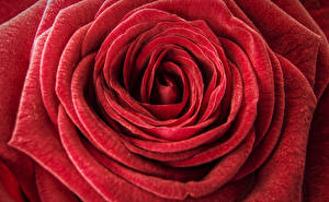 Фотографии Розы Крупным планом Макро Красный Цветы