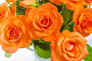 Фото Розы Вблизи Оранжевый Цветы