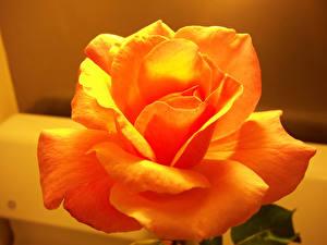 Картинки Роза Крупным планом Оранжевый Цветы