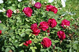 Фотография Розы Бордовый Кусты Цветы