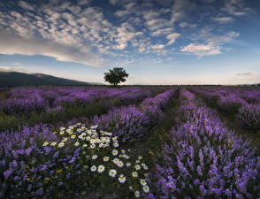 Картинки Пейзаж Поля Лаванда Небо Ромашки Облака Природа