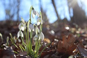 Фото Галантус Вблизи Весенние Цветы