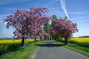 Обои Весна Дороги Цветущие деревья Рапс Природа картинки