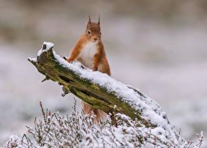 Фото Белки Снег Ветки Животные