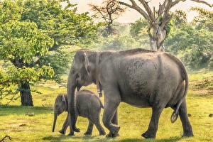 Картинка Шри-Ланка Парки Слоны Детеныши Вдвоем Yala National Park Животные