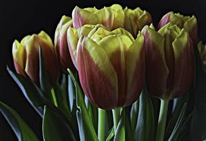 Фотография Тюльпаны Вблизи Черный фон Цветы