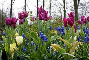 Фотографии Тюльпаны Гиацинты Капли Цветы
