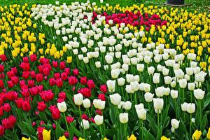 Картинка Тюльпаны Много