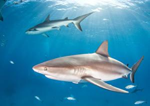 Фотография Подводный мир Рыбы Акулы 2 животное