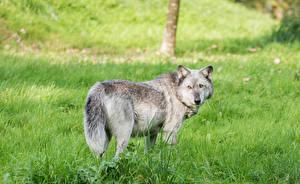 Фотографии Волки Взгляд Трава Животные