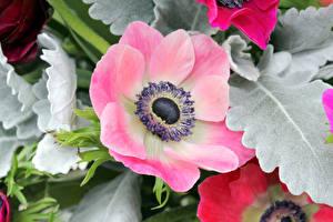 Фотографии Ветреница Крупным планом Розовый Цветы