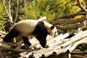 Картинки Медведи Бамбуковый медведь