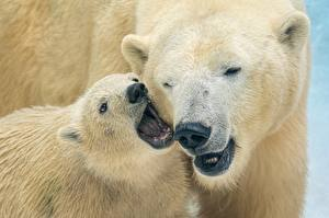 Фотографии Медведи Белые Медведи Детеныши