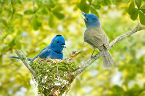Обои Птицы Ветвь Гнездо Двое Black-naped monarch Животные