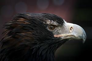 Фотография Птицы Орлы Вблизи Голова Клюв Животные