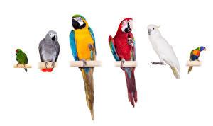Картинки Птицы Попугаи Ара (род) Белый фон