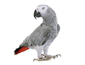 Фотография Птицы Попугаи Белый фон Серый Клюв Животные