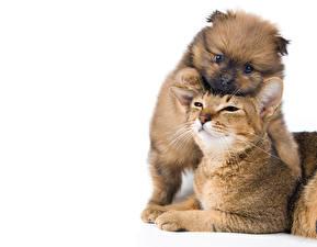 Картинка Коты Собаки Белый фон Вдвоем Щенок Животные