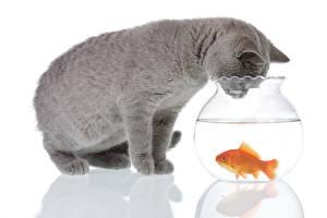 Картинка Коты Рыбы Вода Белый фон 2 Серый Животные