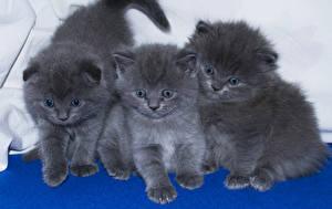 Фотография Коты Котенка Трое 3 Серая Животные