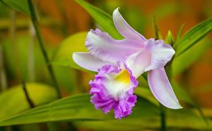Фотографии Крупным планом Орхидеи Cattleya