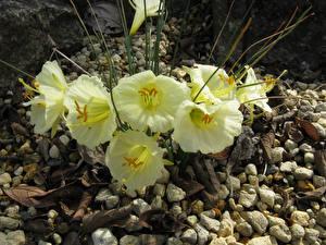 Фотография Нарциссы Вблизи Камень Narcissus romieuxii Цветы