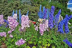 Фотографии Дельфиниум Англия Парки Лондон Regents Park Queens Garden Цветы