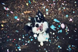 Обои Собаки Бордер-колли Счастье Язык (анатомия) Конфетти