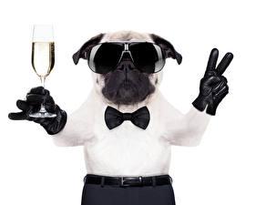 Картинки Собаки Игристое вино Пальцы Белый фон Бульдог Бокалы Очки Галстук-бабочка Забавные Животные
