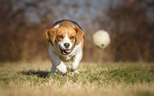 Фотографии Собаки Бежит Мячик Трава Бигля Животные