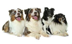 Картинки Собаки Белый фон Австралийская овчарка Язык (анатомия) Смотрит